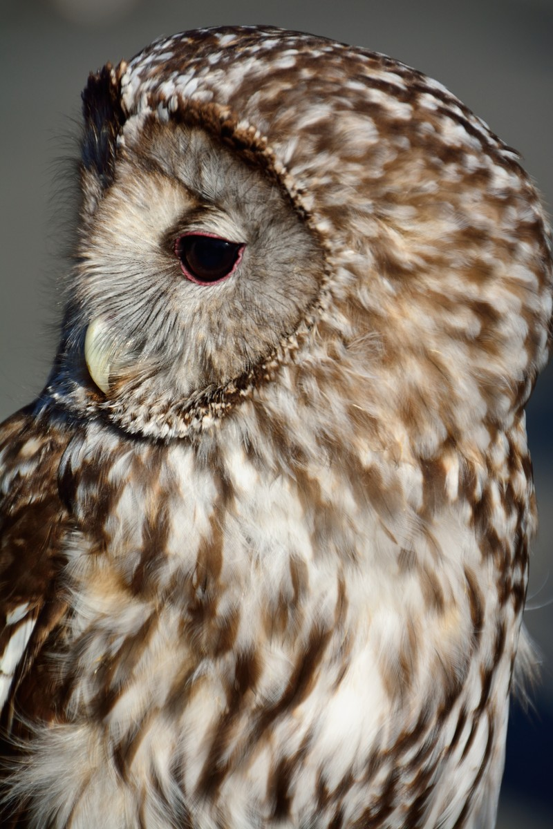 「フクロウの横顔」の写真