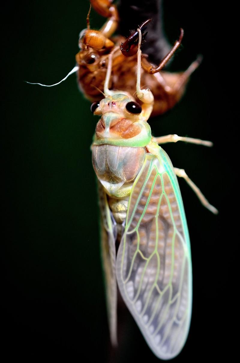 「生まれたての蝉」の写真