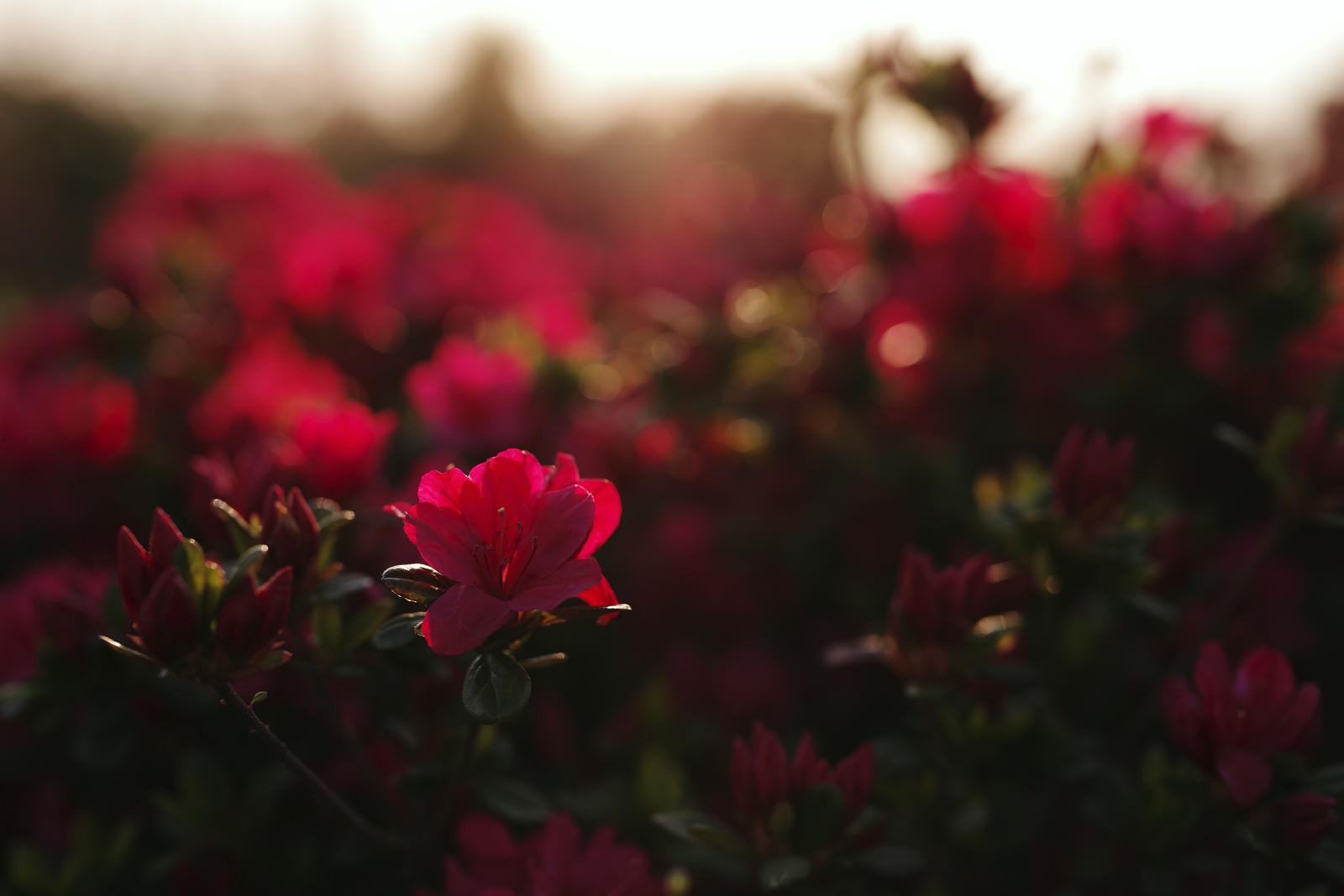 「朝日で真っ赤に染まるツツジの花」の写真