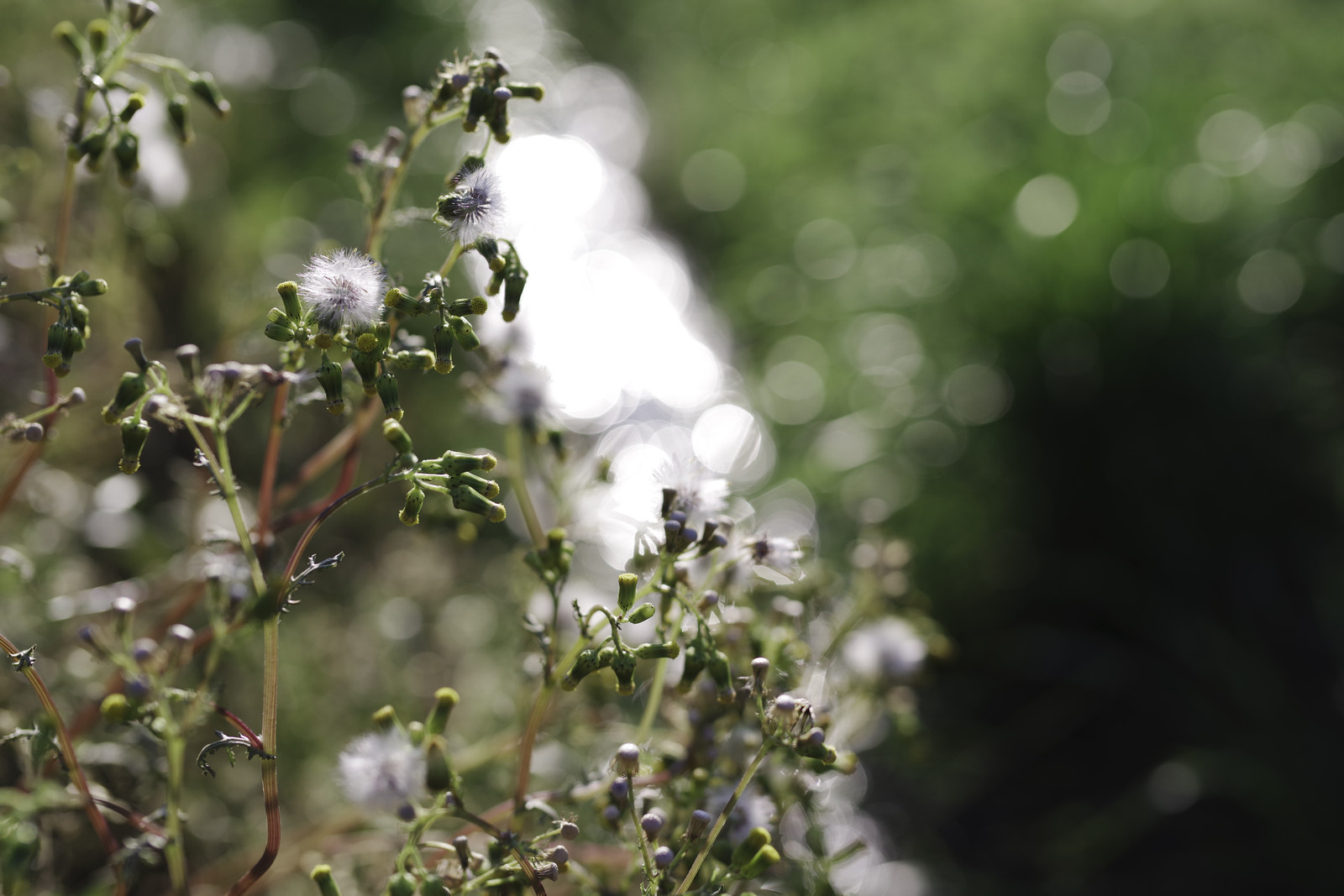 「朝日に輝くノボロギク」の写真