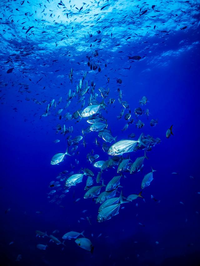 透き通る海中に現れたアジの群れの写真