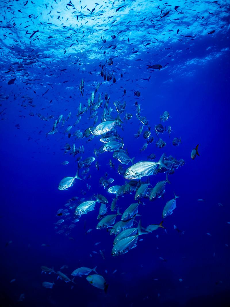 「透き通る海中に現れたアジの群れ」の写真