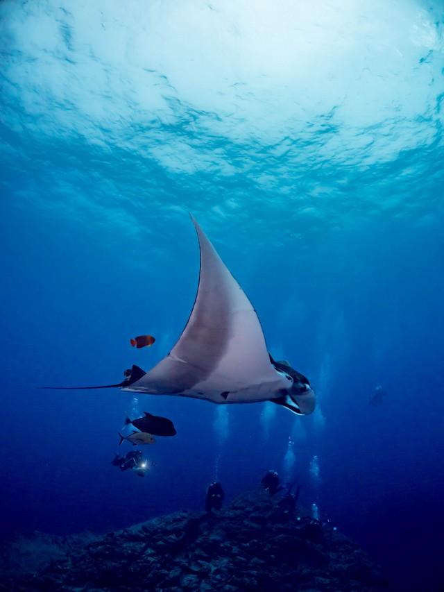 アジとキングエンジェルフィッシュを引き連れて優雅に泳ぐマンタの写真