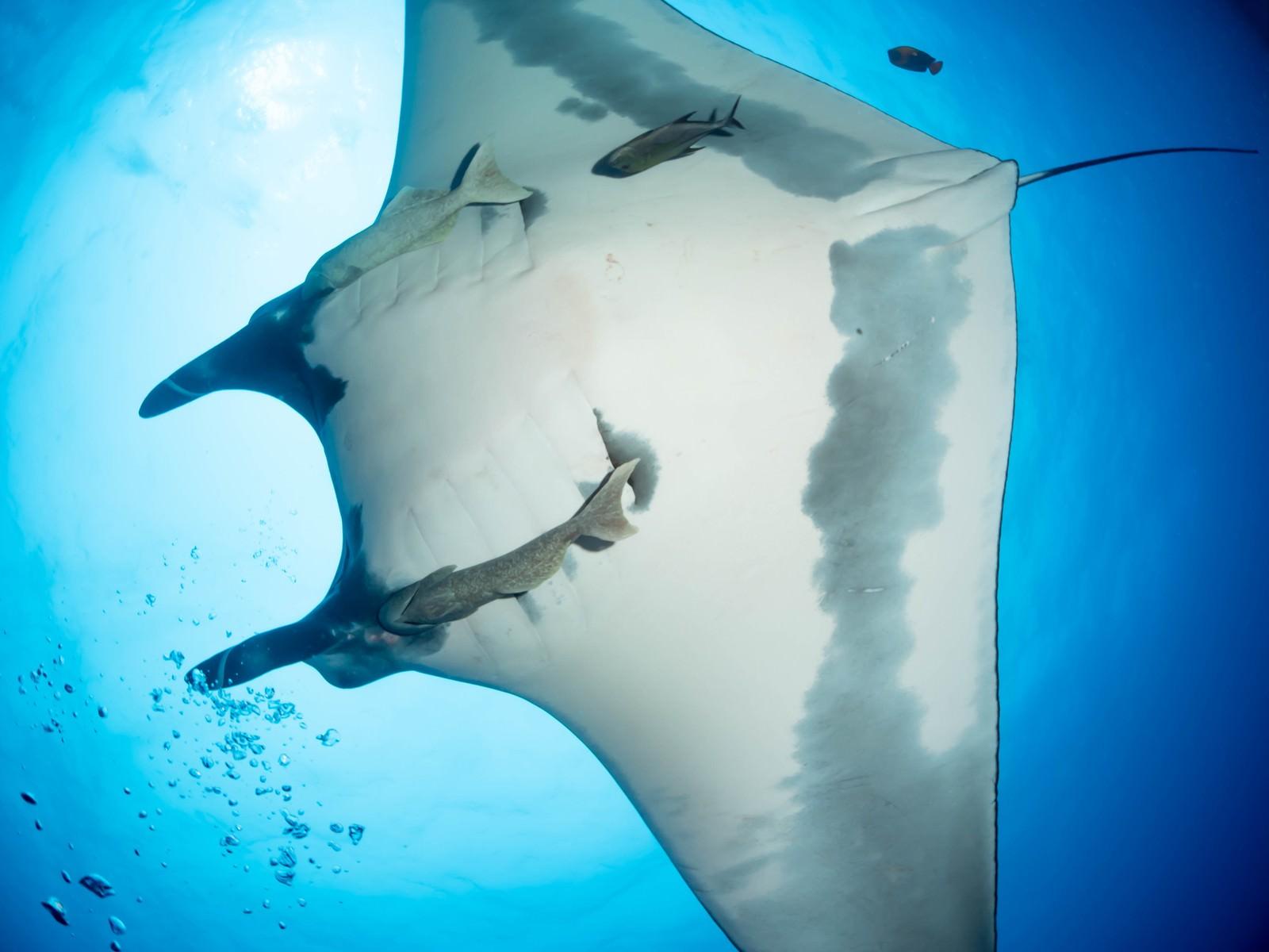 「回遊するマンタとコバンザメのお腹」の写真