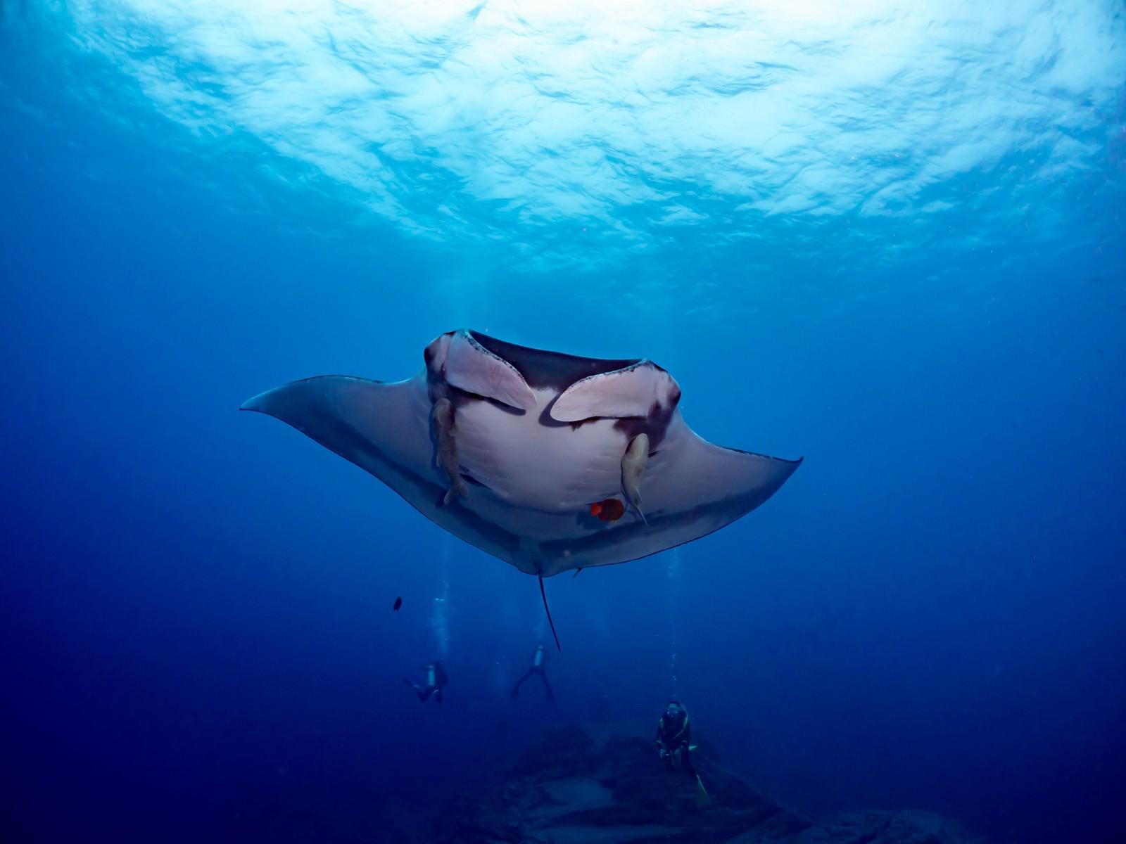 「コバンザメとキングエンジェルフィッシュを引き連れて泳ぐマンタとダイバー」の写真