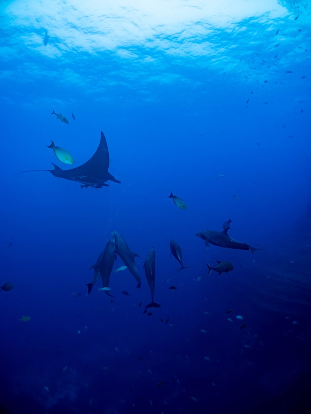 魚の群れの中で泳ぐマンタとイルカの写真