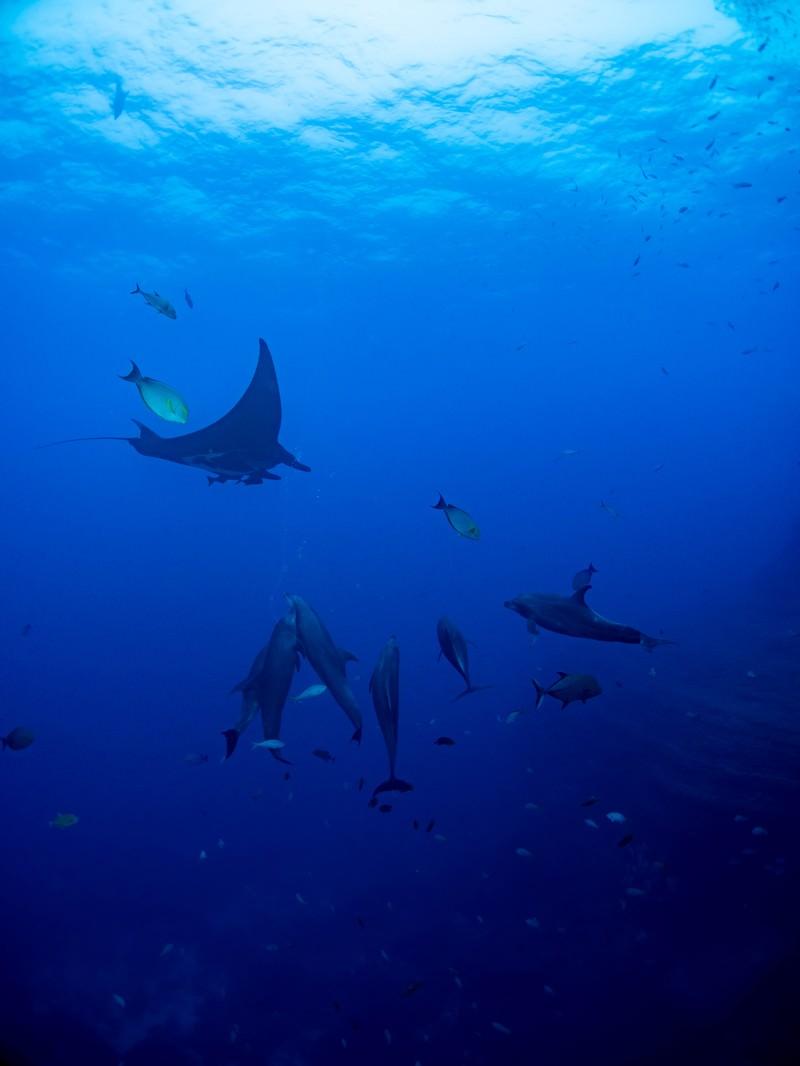 「魚の群れの中で泳ぐマンタとイルカ」の写真
