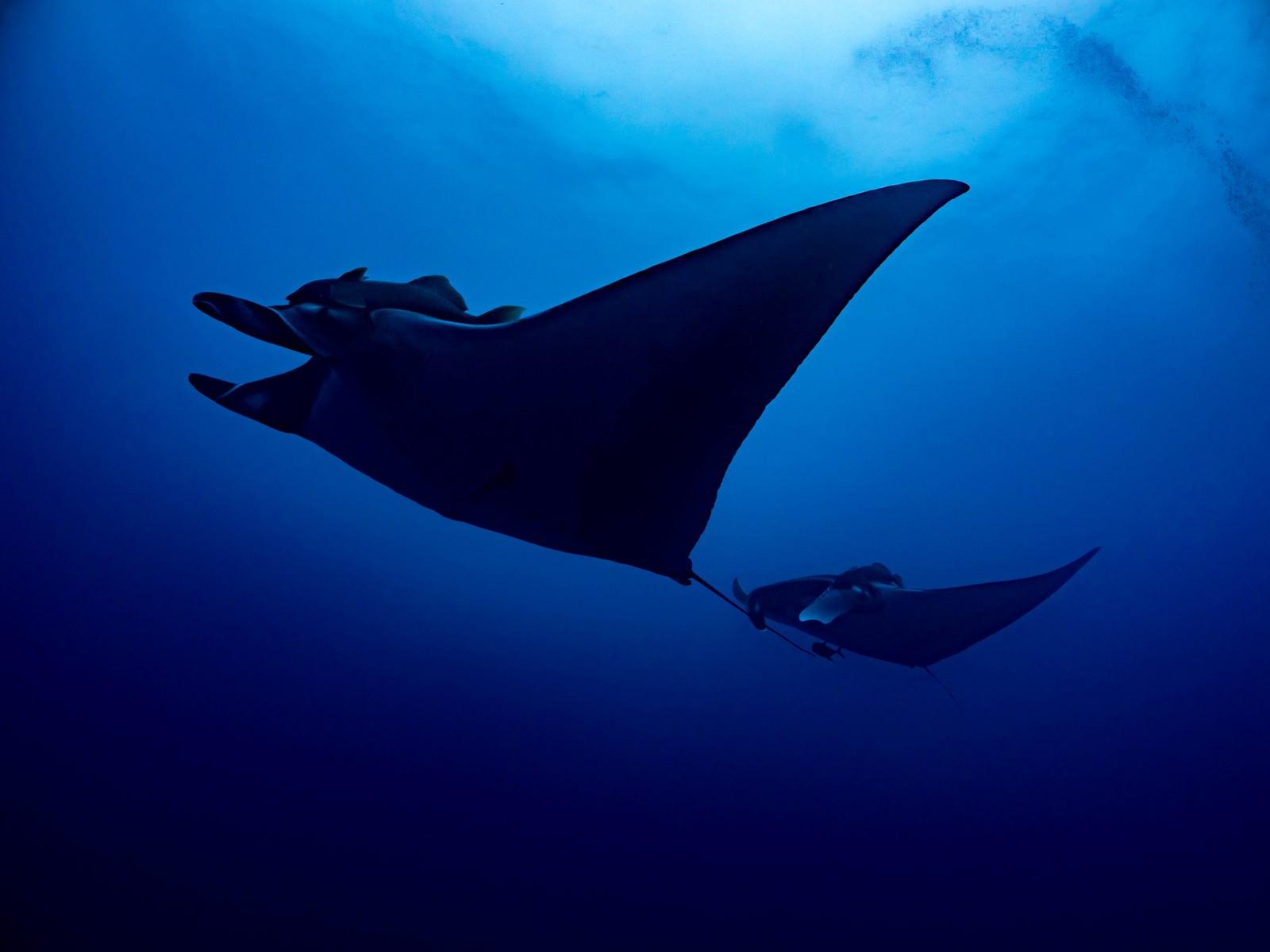「海中を並んで泳ぐ巨大マンタのシルエット」の写真