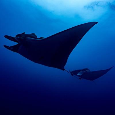 海中を並んで泳ぐ巨大マンタのシルエットの写真