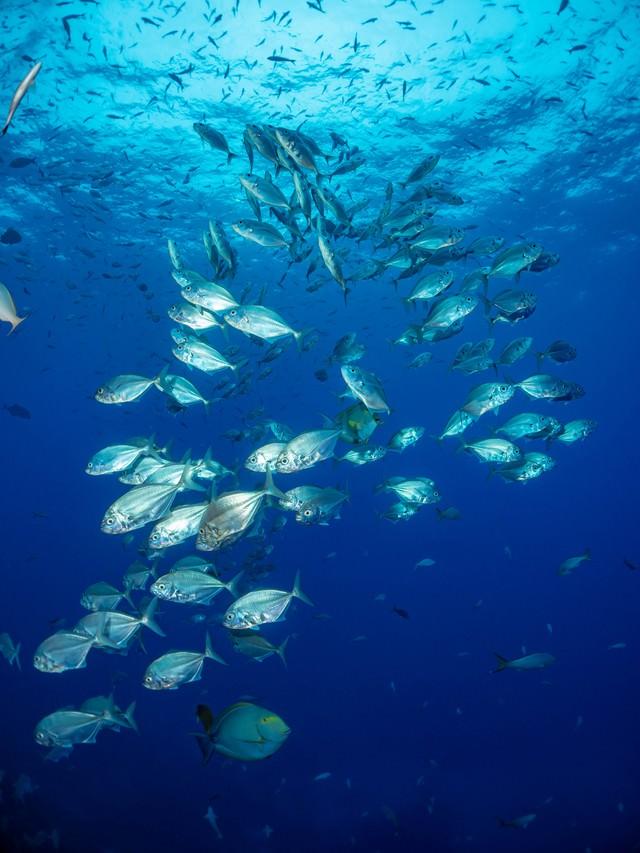 光り輝くクロヒラアジの群れの写真