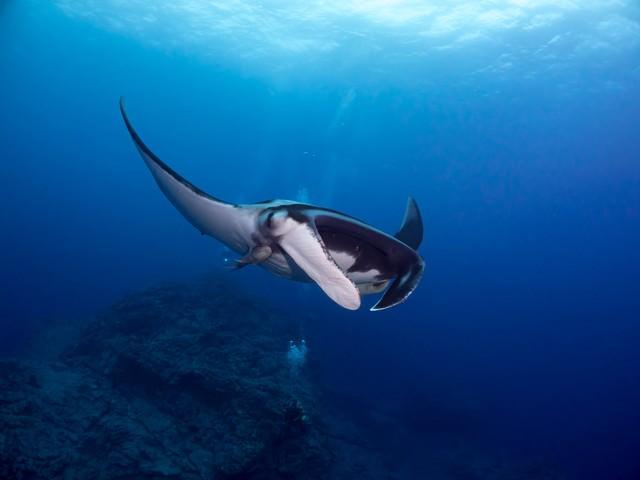 コバンザメを引き連れたマンタの写真