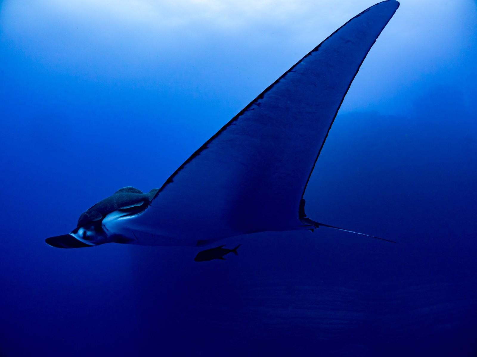 「大きな翼を持つジャイアントマンタ」の写真