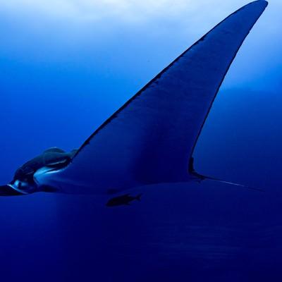 大きな翼を持つジャイアントマンタの写真