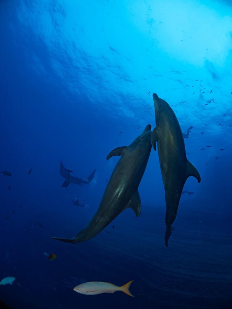 「海の中を寄り添い泳ぐ2頭のイルカと魚達」の写真