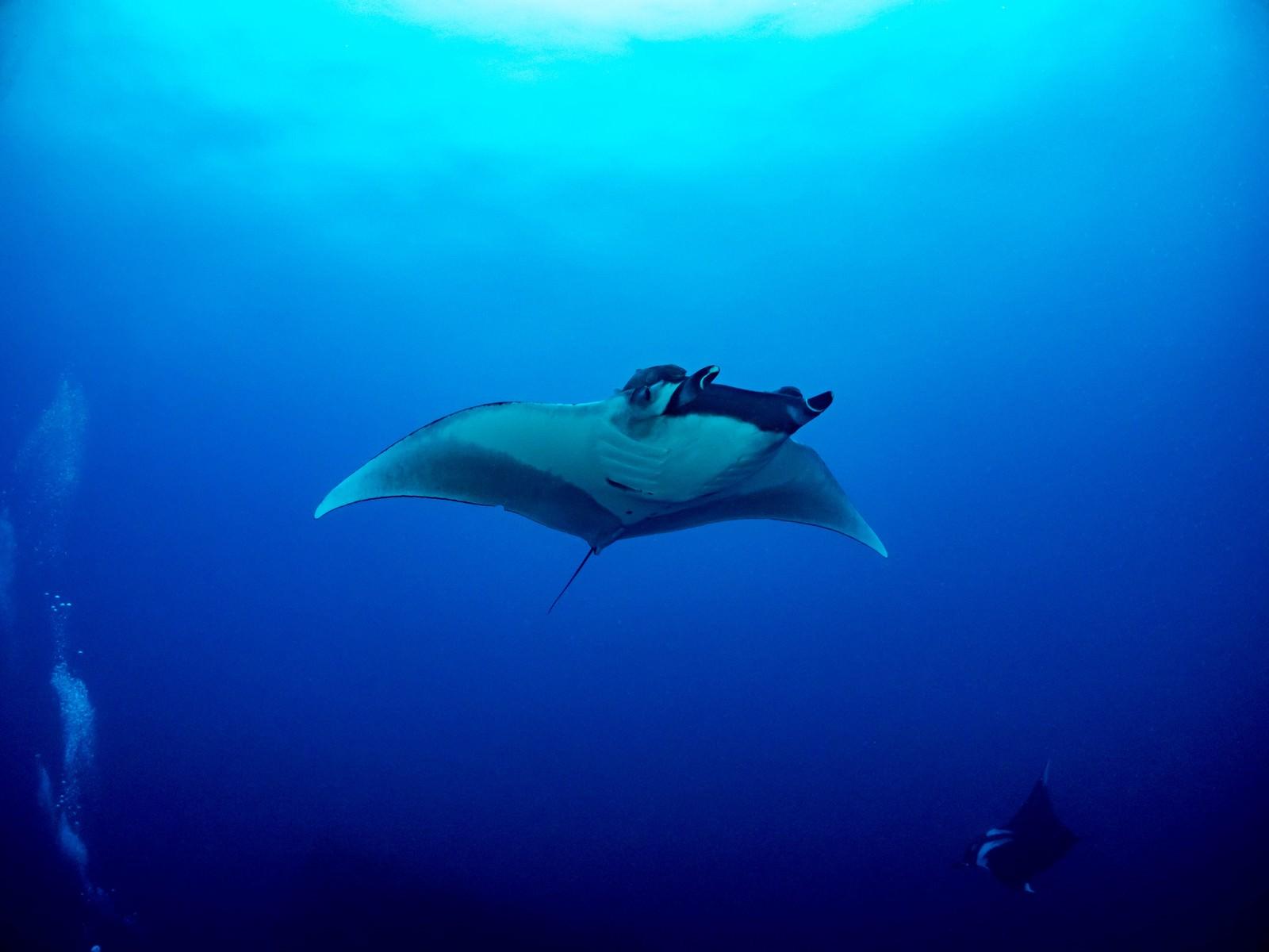 「広い海を舞うオニイトマキエイ」の写真