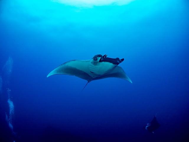 広い海を舞うオニイトマキエイの写真