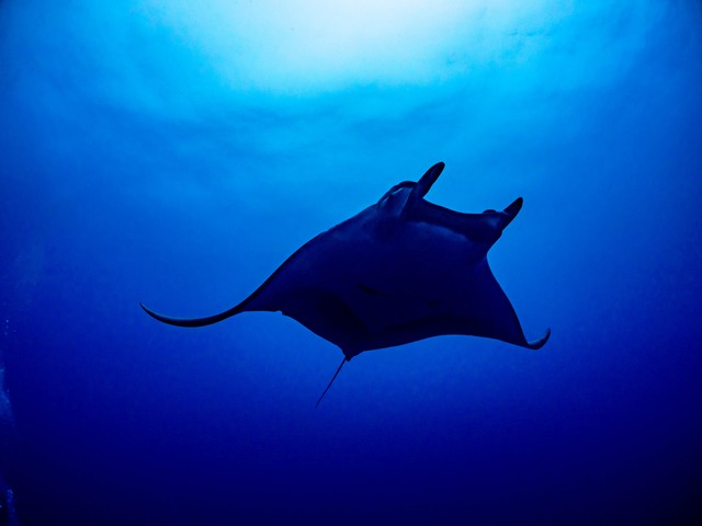 広い海を舞うチェブロンマンタの写真