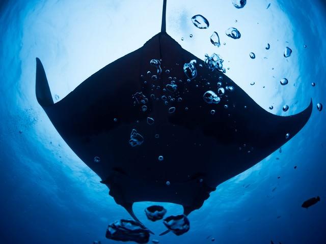 海中の泡越しに見る巨大なマンタの写真