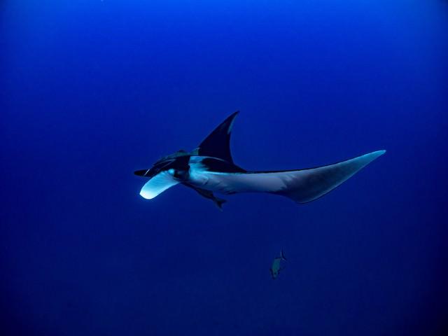 深い海を優雅に泳ぐマンタの写真