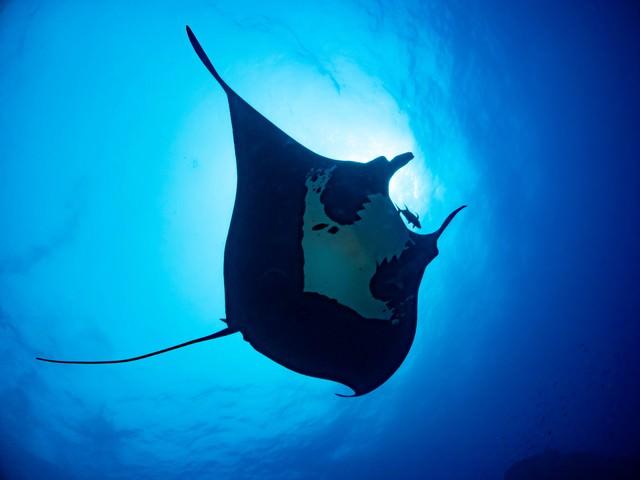 エレガントに泳ぐブラックマンタの写真