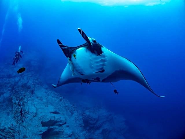 華麗に泳ぐジャイアントマンタとダイバーの写真