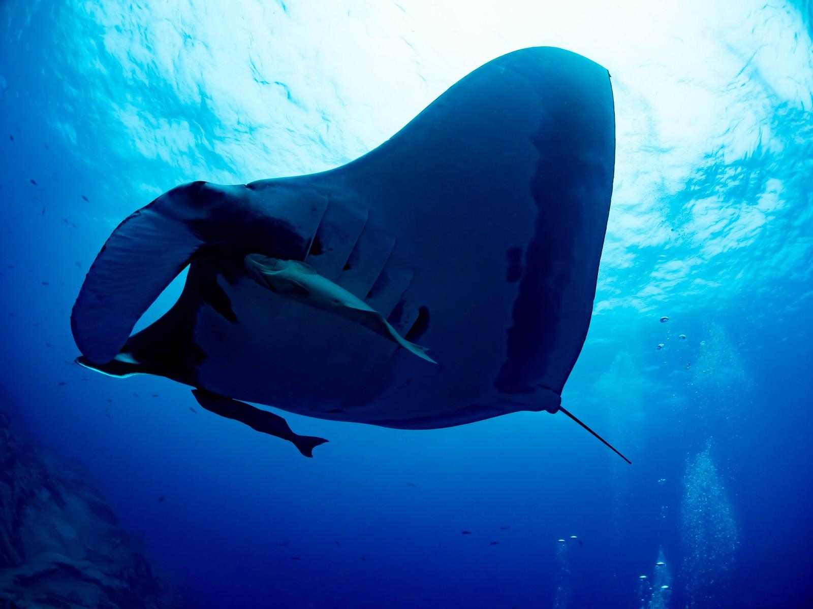 「迫るジャイアントマンタと二匹のコバンザメ」の写真