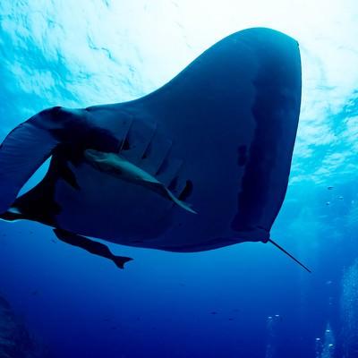 迫るジャイアントマンタと二匹のコバンザメの写真