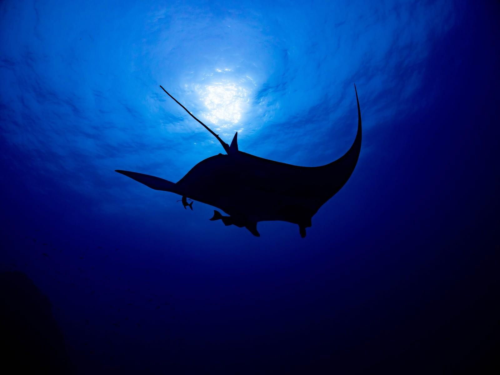 「海中から太陽に向かって泳ぐブラックマンタのシルエット」の写真