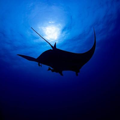 海中から太陽に向かって泳ぐブラックマンタのシルエットの写真