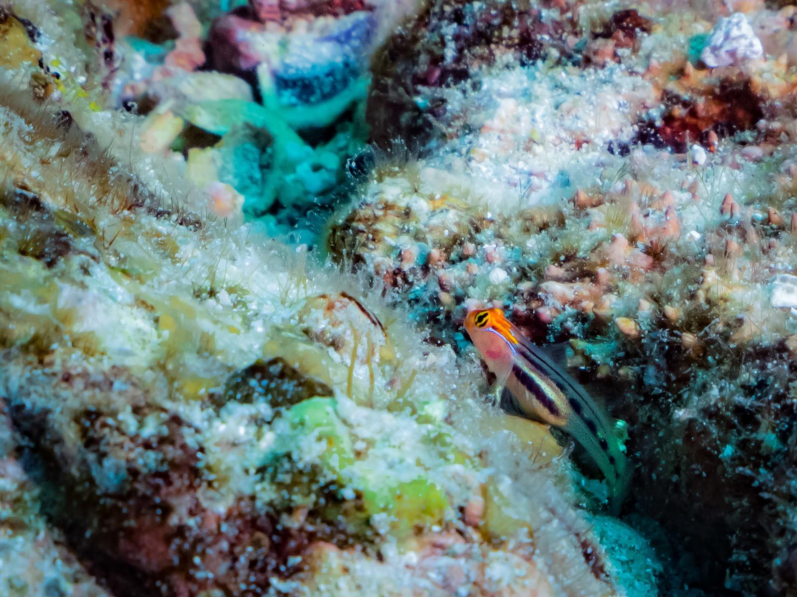 「海中の岩間に潜むレッドヘッドゴビー」の写真
