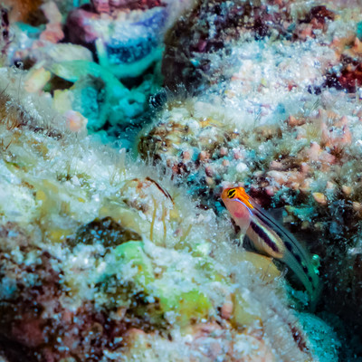 海中の岩間に潜むレッドヘッドゴビーの写真