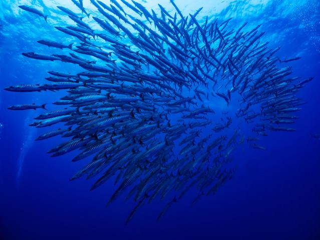 バラクーダの群れ(与那国島)の写真