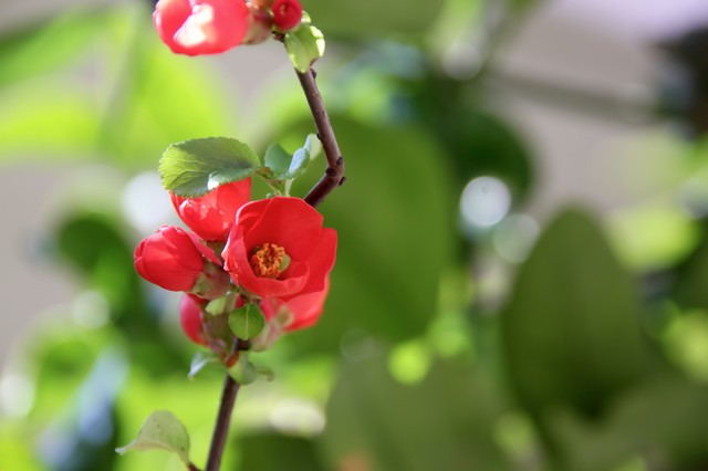 咲きかけの赤いボケの花の写真
