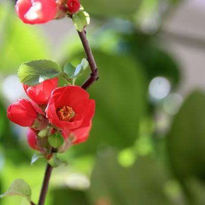 「咲きかけの赤いボケの花」の写真素材