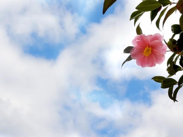 青空と椿の花の写真