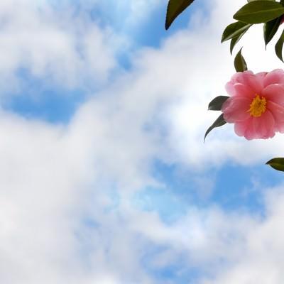 「青空と椿の花」の写真素材