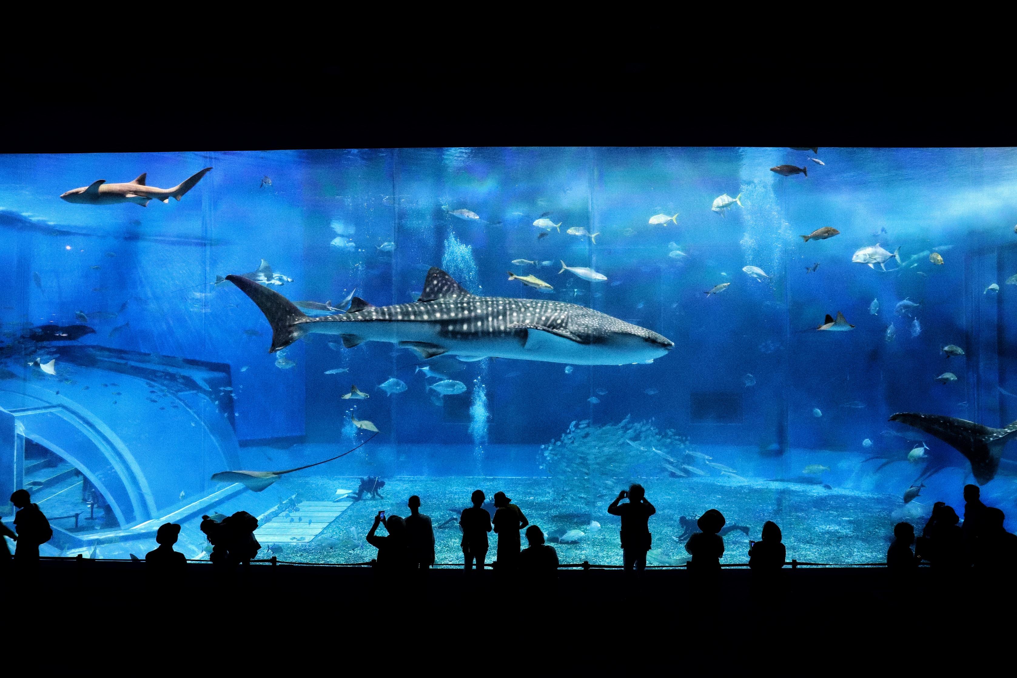 水族館を優雅に泳ぐジンベィザメの写真