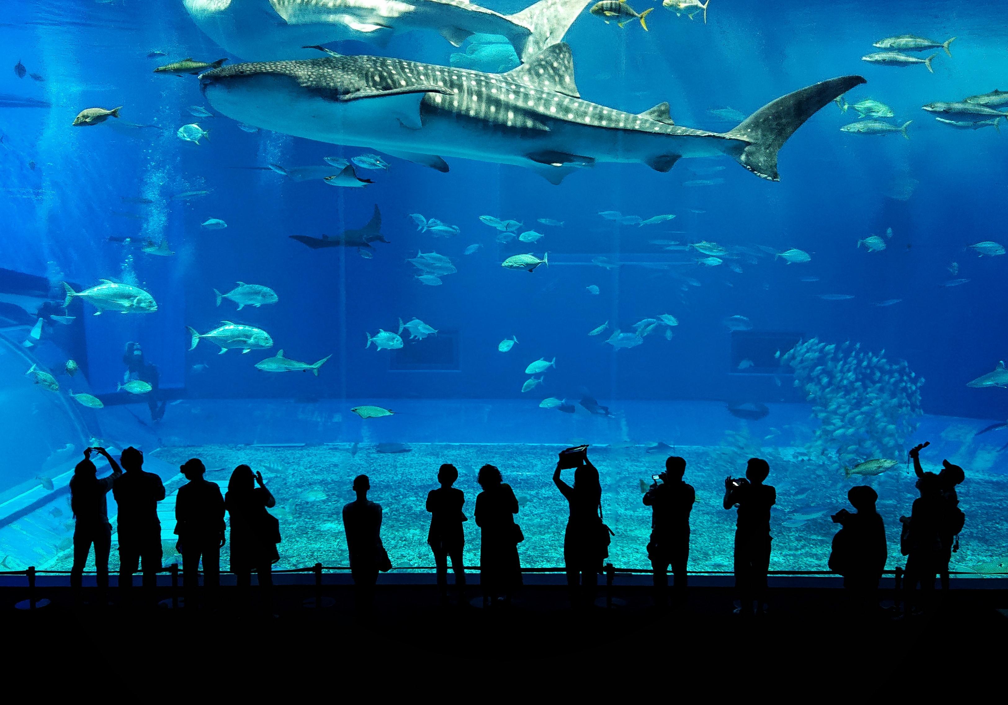 大きな水槽の中を泳ぐジンベエザメの写真
