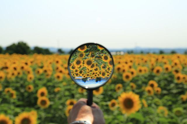 虫メガネ越しのひまわり畑の写真