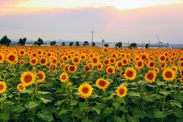 夕焼けに染まる空と向日葵畑の写真