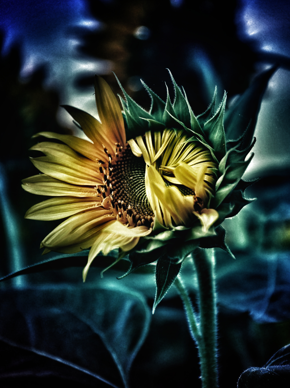 ひまわり開花中の写真