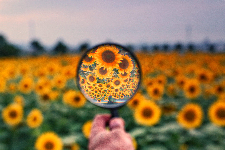 「虫眼鏡を使ってひまわり畑を覗いてみた」の写真