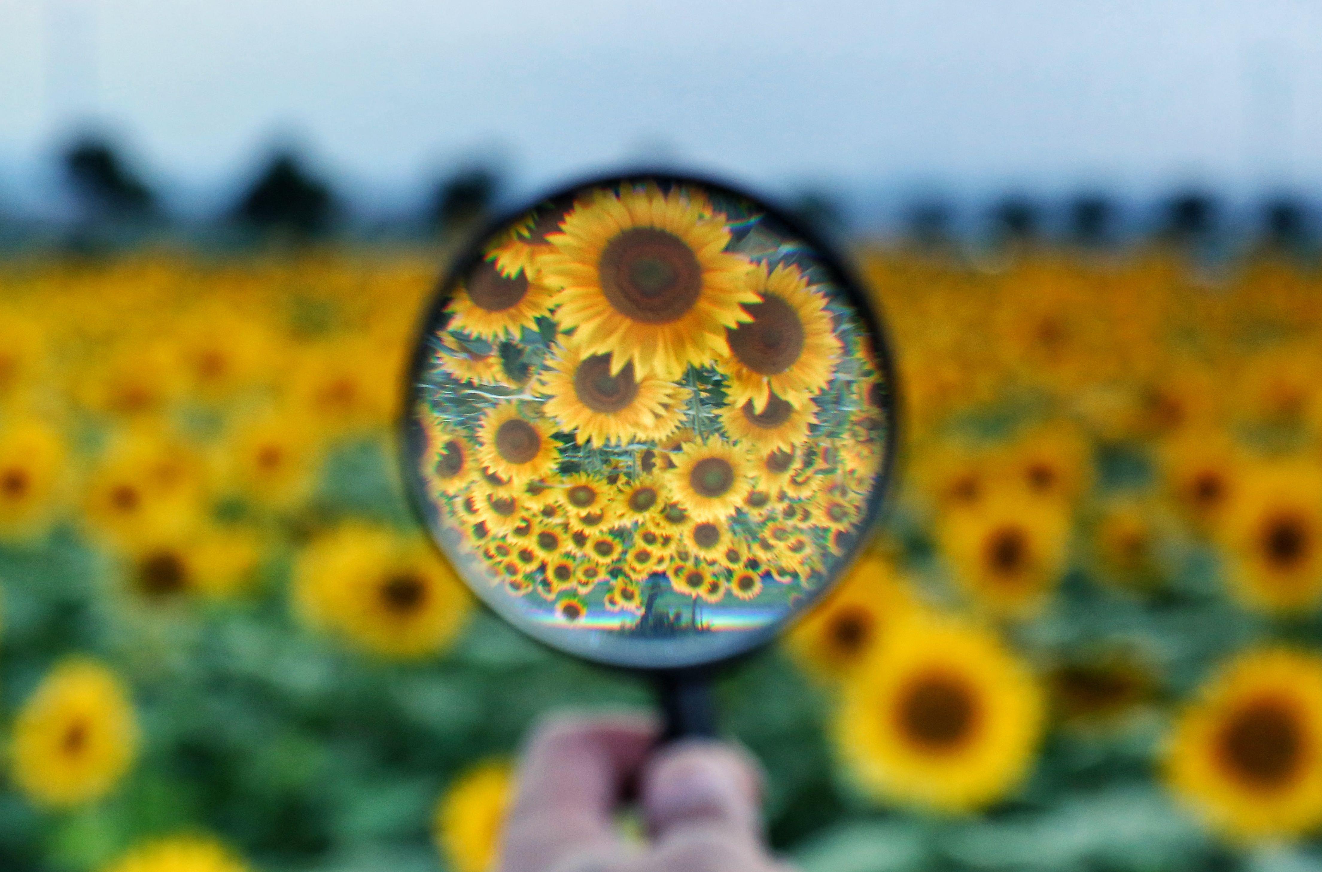 ひまわり畑を覗く虫メガネの斬新な使用方法の写真