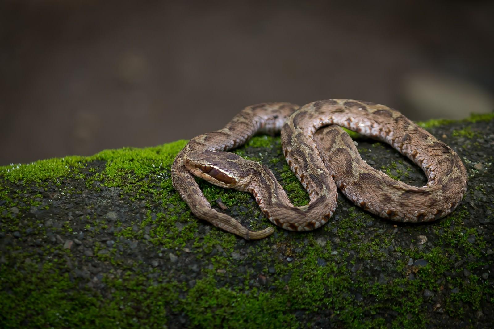 「まむし(毒蛇)」の写真