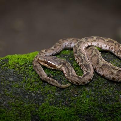「まむし(毒蛇)」の写真素材