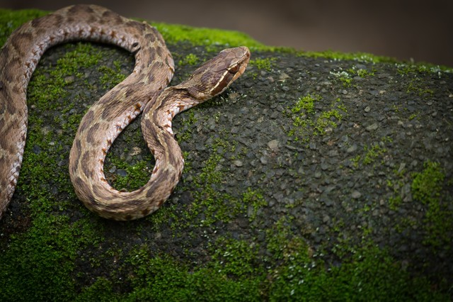 ジメジメした場所を移動するマムシ(蛇)の写真