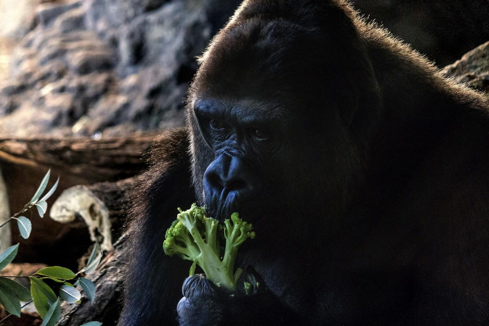 「ブロッコリーを食べるゴリラ」の写真