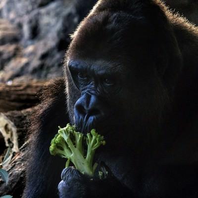 ブロッコリーを食べるゴリラの写真
