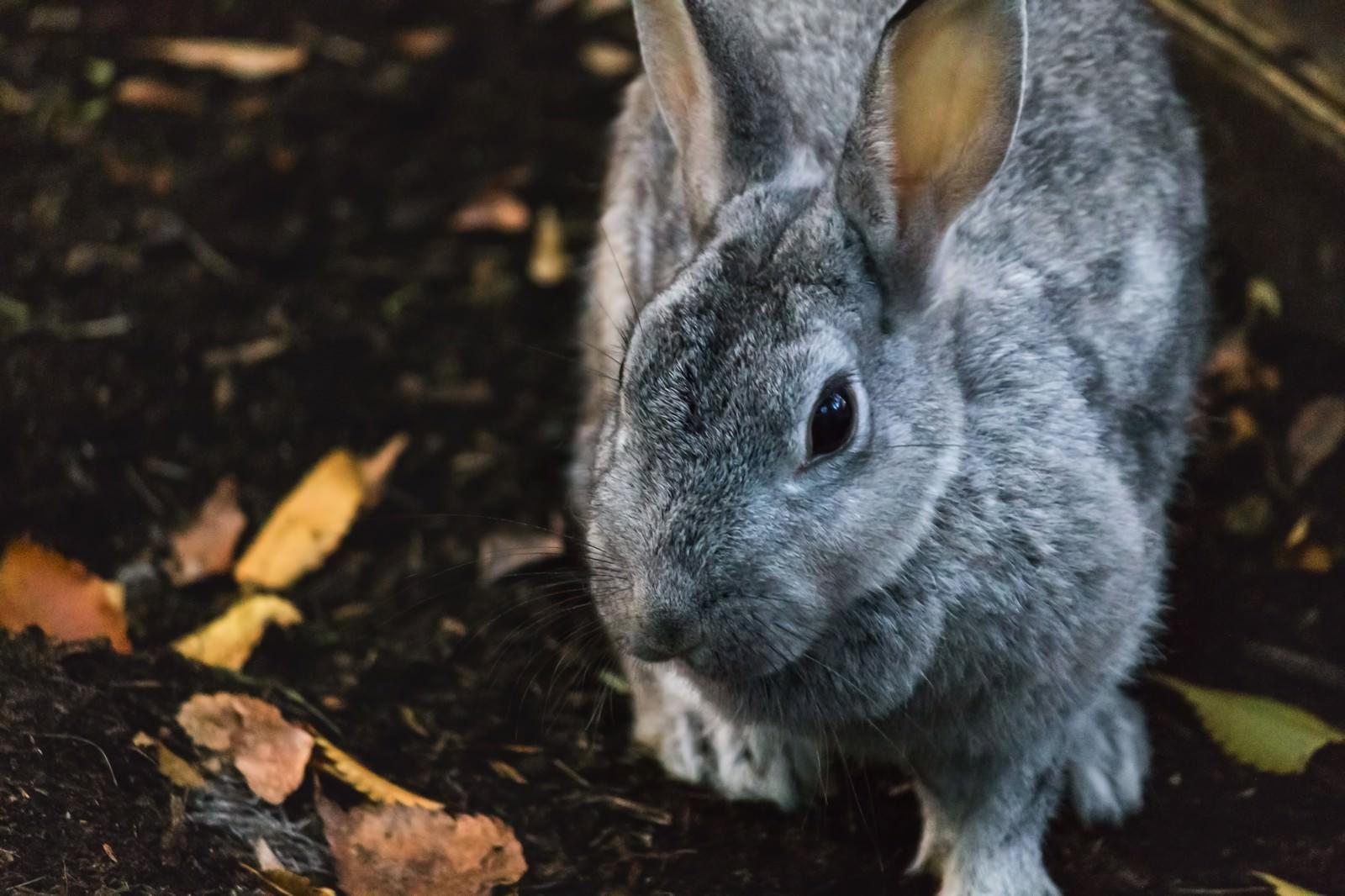 「近寄るウサギ」の写真