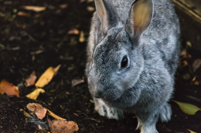 近寄るウサギの写真